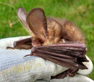 Brown long eared bat good(5)