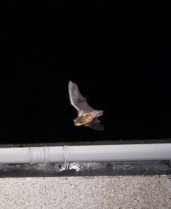 Flying pipistrelle (2)